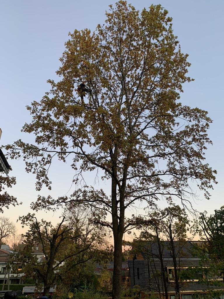 Før Kronereduksjon av et stort tre