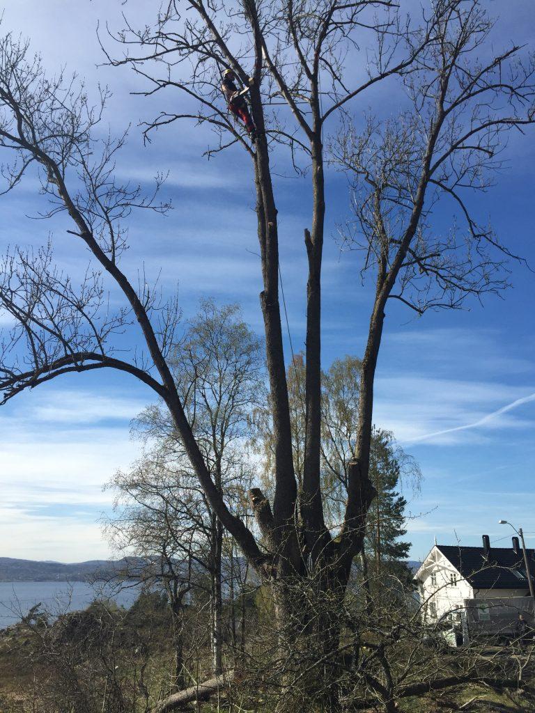 Trefelling fra toppen av treet